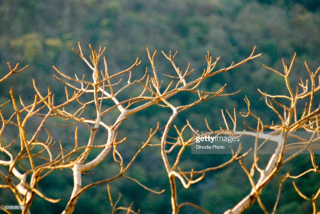 White Branches Of Tree Shining In Sunlight At Chikhaldara