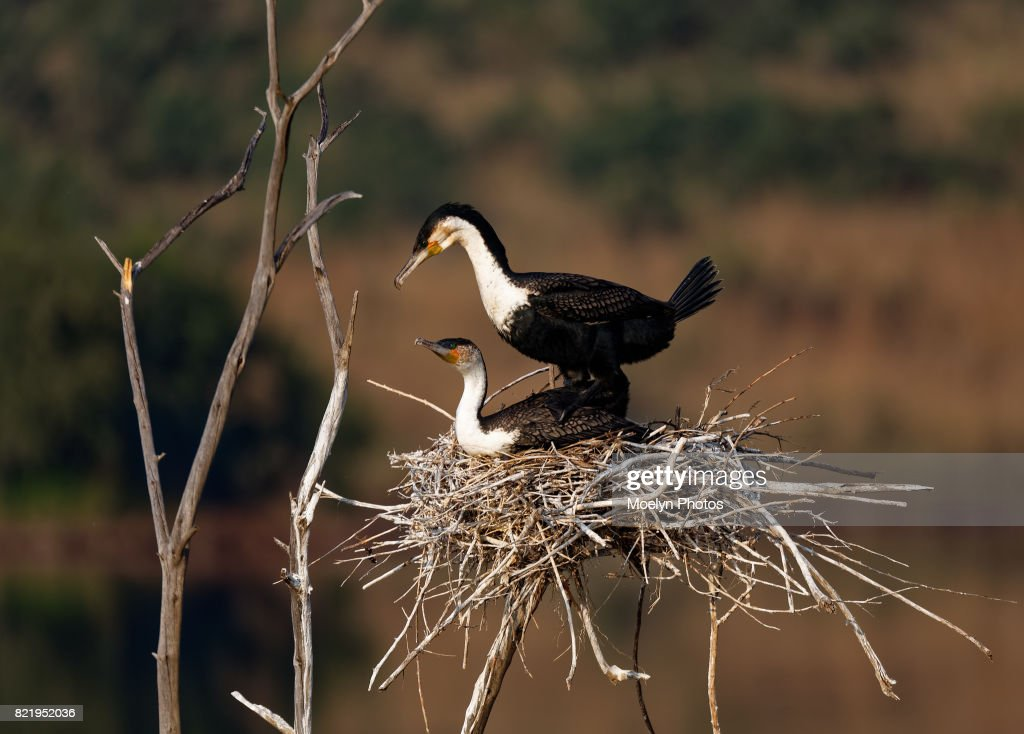 White Breasted Comorant-Mating Pair : Stock Photo