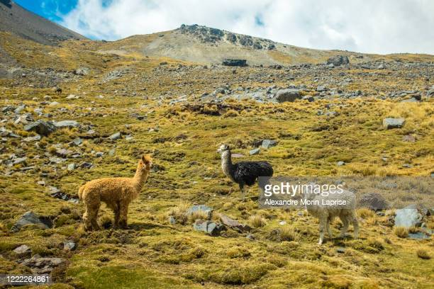 a white, brown and black llamas looking over the grass in the valley of the llamas near the snowy condoriri, a mountain in bolivia's cordillera real - altiplano stock pictures, royalty-free photos & images