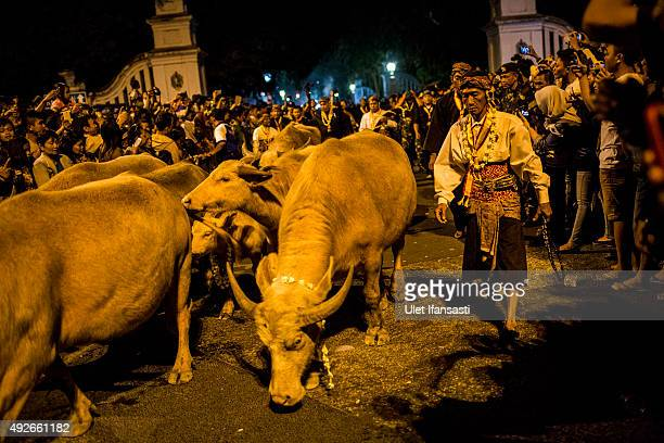 White buffalos are shepherded during the traditional night carnival '1st Suro' during Islamic New Year celebrations at Kasunanan Palace on October 15...