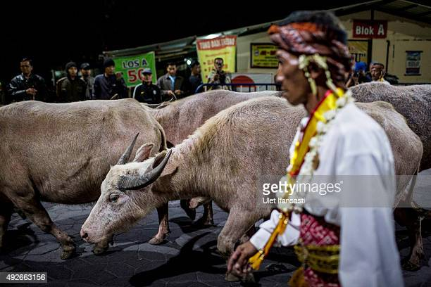 White buffalos or kebo bule are shepherded during the traditional night carnival '1st Suro' marking the 1437th Islamic New Year celebrations at...