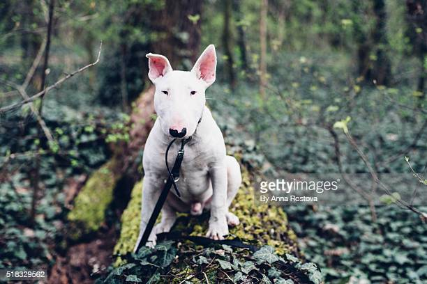 White bull terrier dog on leash sitting on tree trunk looking into camera