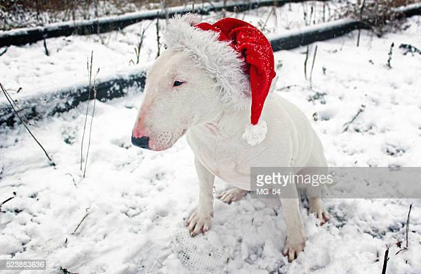 White bull Terrier in a Christmas hat