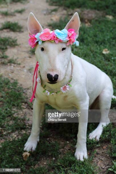 white bull terrier - bull terrier stock pictures, royalty-free photos & images