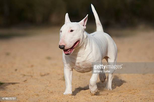 a white bull terrier! - bull terrier stock pictures, royalty-free photos & images