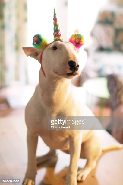 white bull terrier with rainbow unicorn