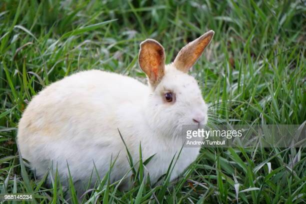 white bunny - white rabbit stock pictures, royalty-free photos & images