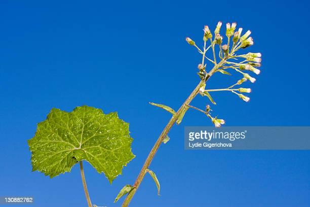 white butterbur, butterbur (petasites albus) - coltsfoot stock photos and pictures
