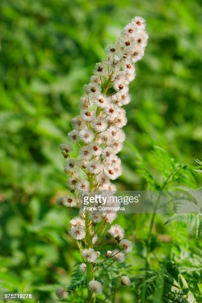 White Butterbur (Petasites albus), infructescence, Thuringia, Germany