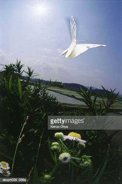 White Butterfly in flight, flapping wings