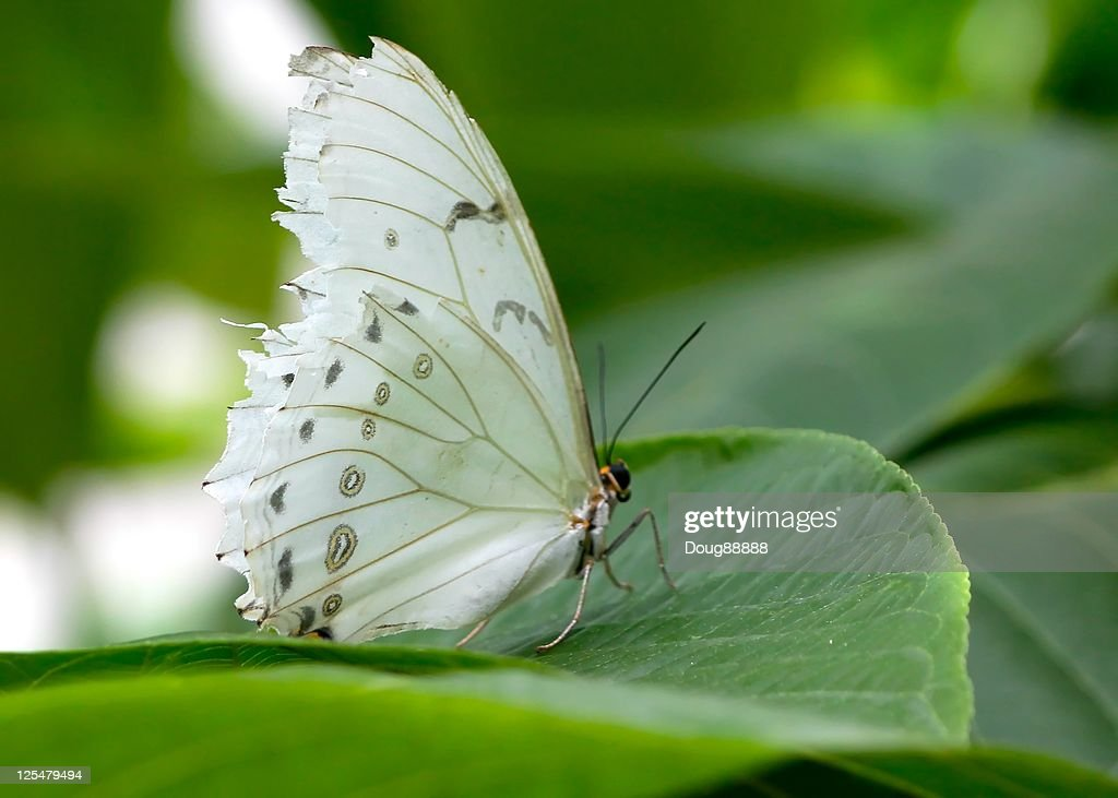 White butterfly on green leaf : Stock Photo