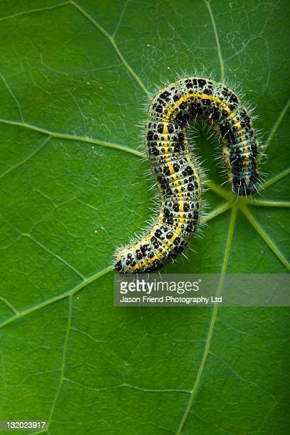 White Cabbage Butterfly Caterpillar