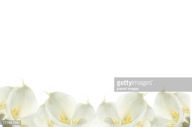 white calla lilies forming a beautiful bottom border - calla lily stock pictures, royalty-free photos & images