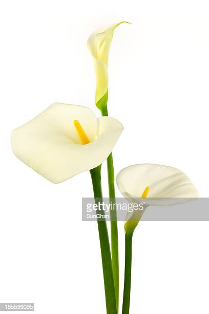 white calla lilies - calla lily stock pictures, royalty-free photos & images