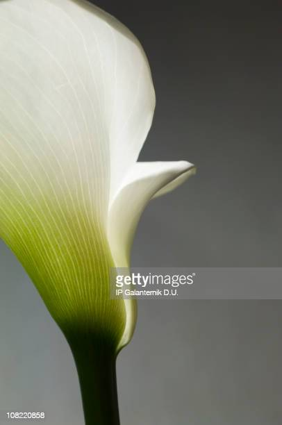 Calla bianca Lilly Close-up