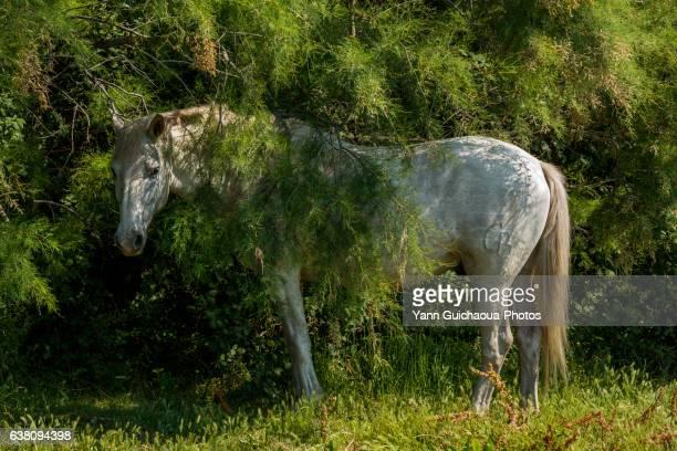white camargue horse, saintes maries de la mer, france - サントマリードラメール ストックフォトと画像