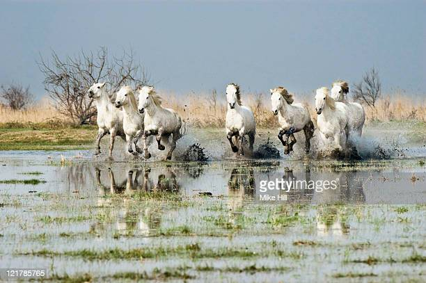 White Camargue Horses (Equus caballus) running through water,  Camargue, France