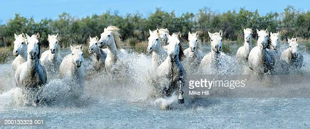 White Camargue horses running through water (Digital Composite)