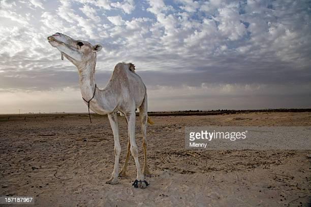 white camel sahara desert