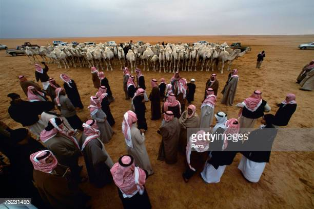 White camels owned by Salman Al Farraj Al Subaie are paraded on display for a highly prized camel beauty contest during the annual meetings of the...