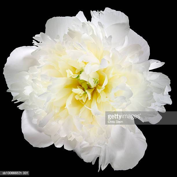 White carnation on black background