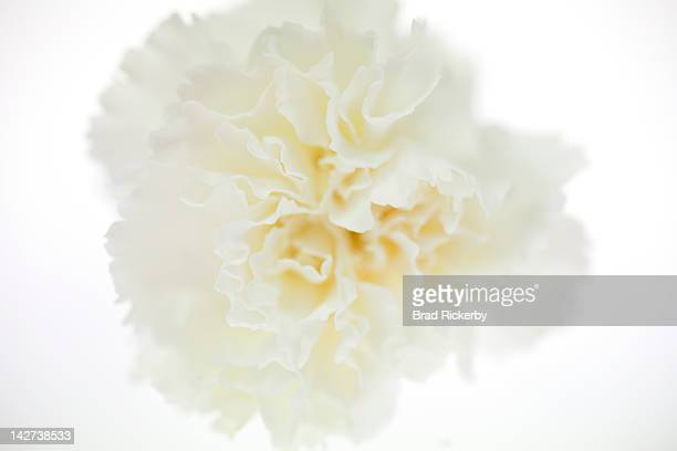 Carnation Flower Stock Photos And Pictures