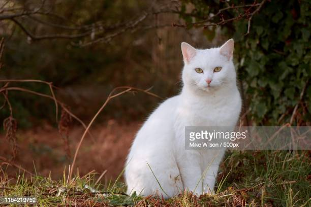 a white cat alone in the countryside - cat stock pictures, royalty-free photos & images