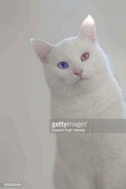 white cat, blue eye, brown eye - howard pugh stock pictures, royalty-free photos & images