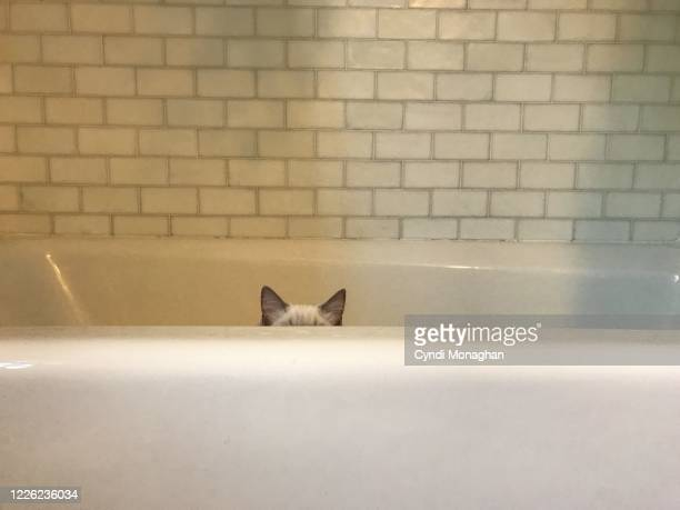 white cat hiding in a bathtub - naughty america stock pictures, royalty-free photos & images