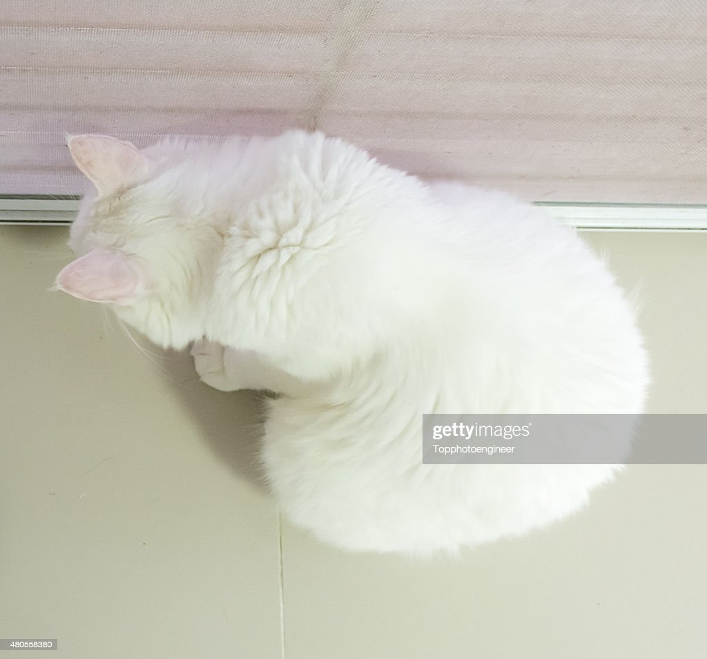 White cat in top view : Stock Photo