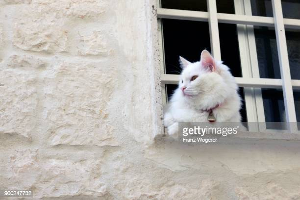 white cat in window, white town of ostuni, citta bianca, brindisi, apulia, italy - ostuni stock photos and pictures