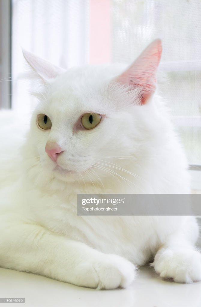 White cat is sitting on the ground and looking forward : Stock Photo