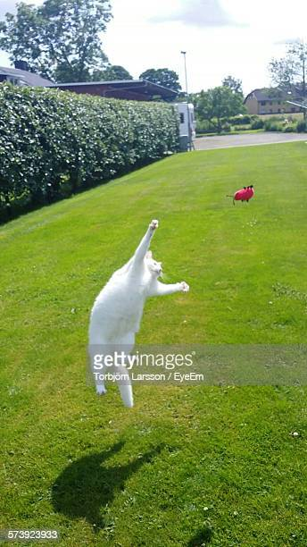 White Cat Jumping Towards Toy In Mid-Air At Lawn