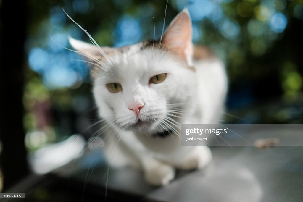 White cat looking to the camera : Stock Photo