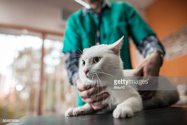 White cat on a medical exam at veterinarian office.