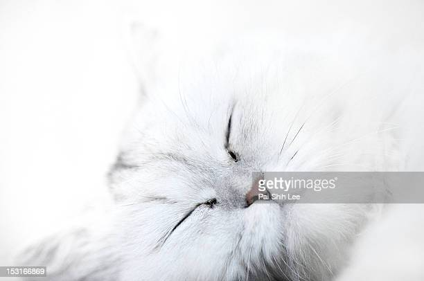 white cat - hairy asian stock pictures, royalty-free photos & images