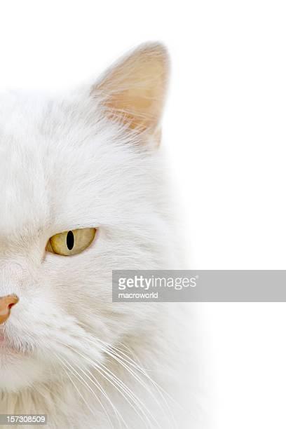 Chat blanc (macro