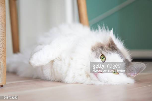 3 381 Fluffy White Cat Photos And Premium High Res Pictures Getty Images