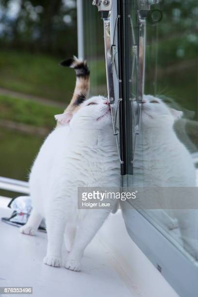 white cat rubs against window of river barge bella fortuna moored at port de savoyeux marina along petit saone river, seveux, haute-saone, bourgogne-franche-comte, france - rubbing stock pictures, royalty-free photos & images