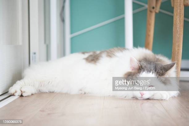 white cat sleeping on floor at home - animal hair stock pictures, royalty-free photos & images
