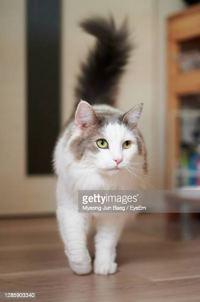 white cat walking on wooden flooring at home - animal hair stock pictures, royalty-free photos & images
