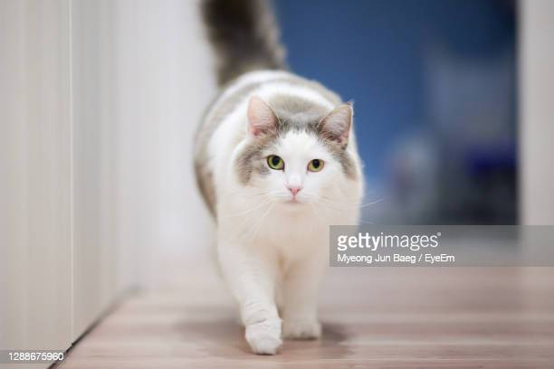 white cat walking on wooden flooring towards camera - animal hair stock pictures, royalty-free photos & images