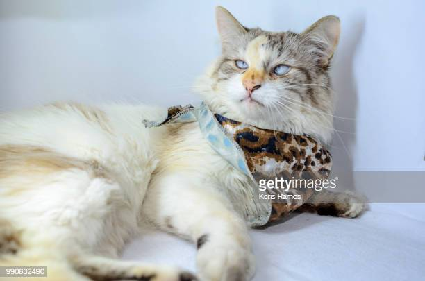 white cat with an ounce of milk on the neck, white cat with queen crown in undefined background, ear and muzzle (very old cats). Because they are blends, SRD cats can have different colors and skin types, sizes, shapes and appearance. July 2, 2018 in Braz