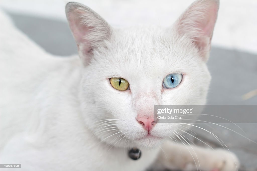 Cu Of White Cat With Blue And Green Eyes High Res Stock Photo Getty Images