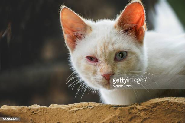 White cat with conjunctivitis