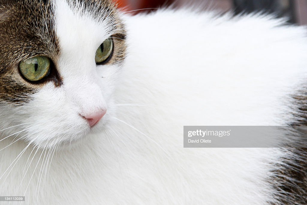 White cat with green eyes : Stock Photo