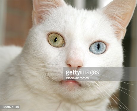 White Cat With One Green Eye And One Blue Eye Stock Photo ... White Kitten With Blue And Green Eyes