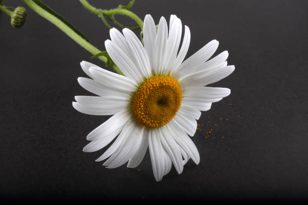 Free white flower black background images pictures and royalty white chamomile on black background mightylinksfo