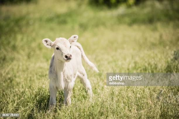 white charolaise calf standing in green grassy meadow - young animal stock pictures, royalty-free photos & images