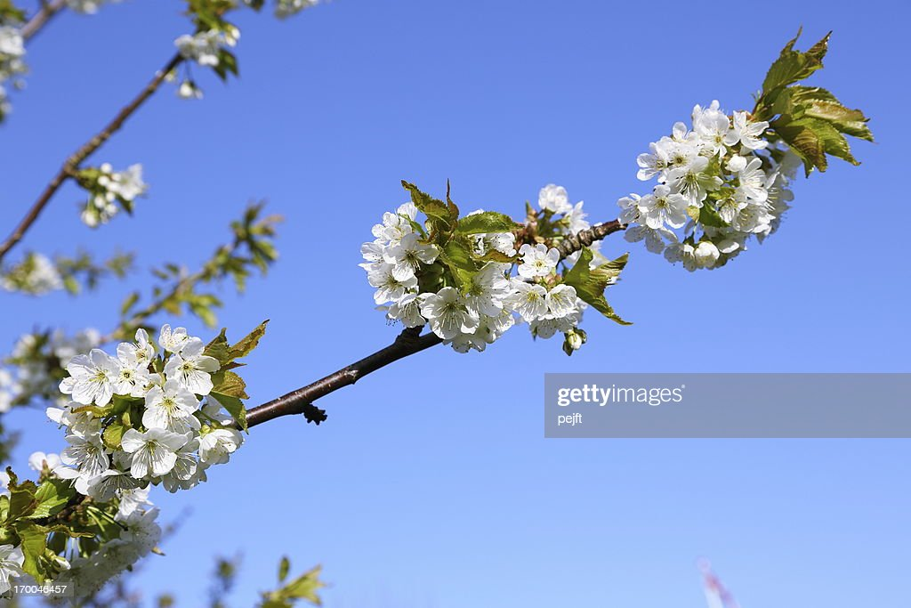 White cherry blossom flowers at spring time : Stock Photo